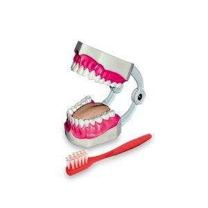 مولاژ دندان آموزش مسواک زدن دو برابر اندازه طبیعی