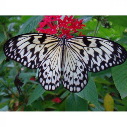 تابلو پروانه ایدآ یاسونیا