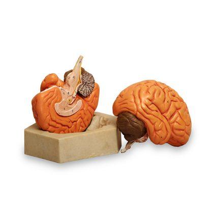 مولاژ مغز دو قسمتی