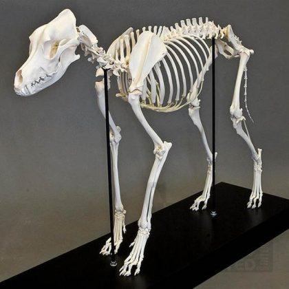 اسکلت سگ استخوان طبیعی