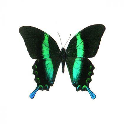 تابلو پروانه بلومی