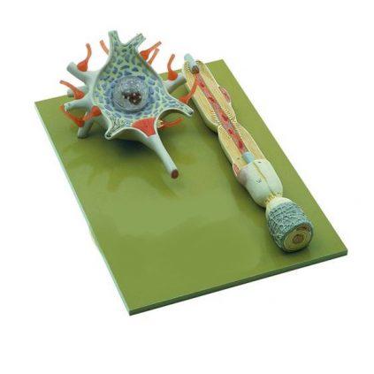 مولاژ سلول عصبی(نرون)