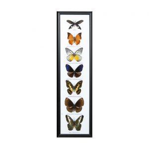 قاب کلکسیون پروانه 7 گونه ستونی