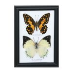 تابلو کلکسیون پروانه ۲ گونه