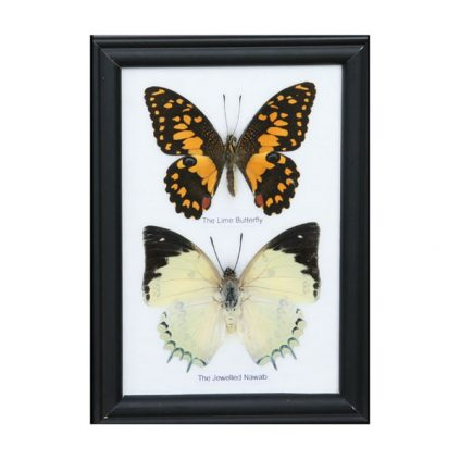 تابلو کلکسیون پروانه 2 گونه