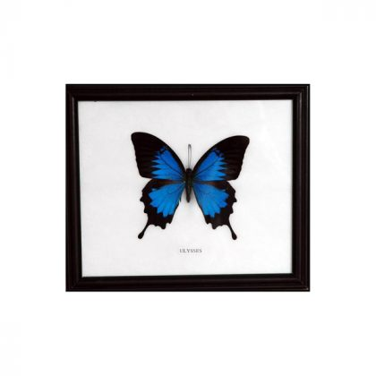 تابلو پروانه پاپیلیو اولیسز
