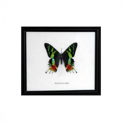 تابلو پروانه ماداگاسکارینسیس