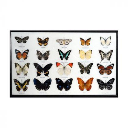 تابلو کلکسیون پروانه 20 گونه