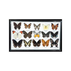 تابلو کلکسیون پروانه 15 گونه