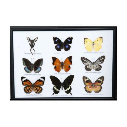 تابلو کلکسیون پروانه 9 گونه