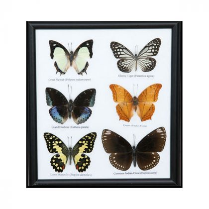 تابلو کلکسیون پروانه 6 گونه