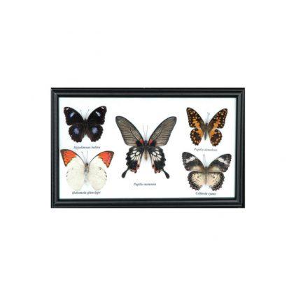 تابلو کلکسیون پروانه 5 گونه