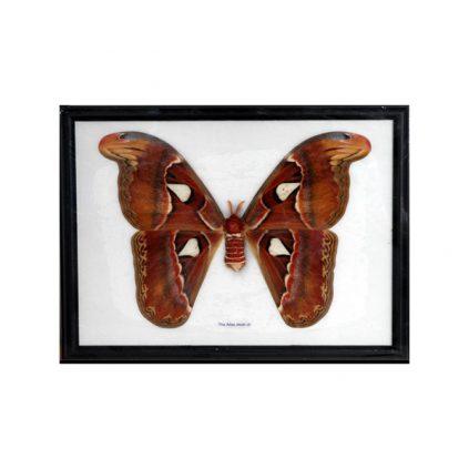 تابلو پروانه اطلس