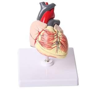 مدل قلب کودک