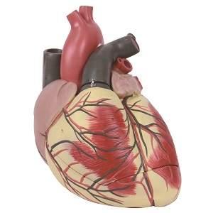 مدل آناتومی قلب بزرگ