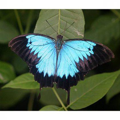 قاب پروانه پاپیلیو اولیسز