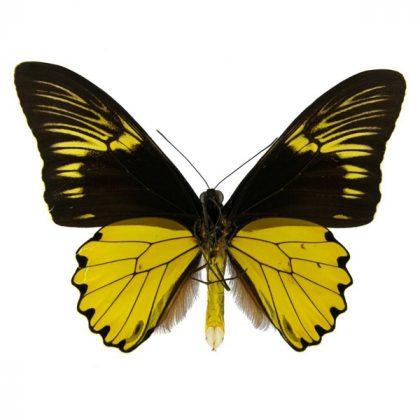تابلو پروانه پر پرنده طلایی