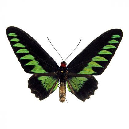 تابلو پروانه بروکیانا