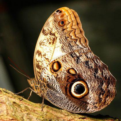 تابلو پروانه کالیگو