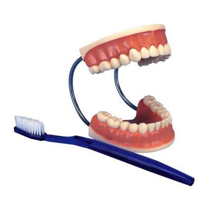 مولاژ دندان آموزش مسواک زدن (اندازه طبیعی)