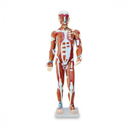 مولاژ تمام تنه عضلات بدن 3 قسمتی