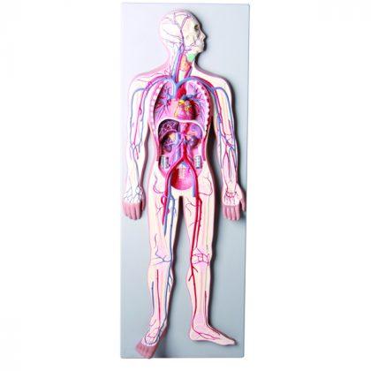 مولاژ دستگاه گردش خون