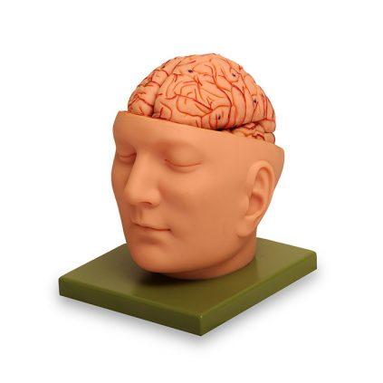 مولاژ سر با مغز دو قسمتی