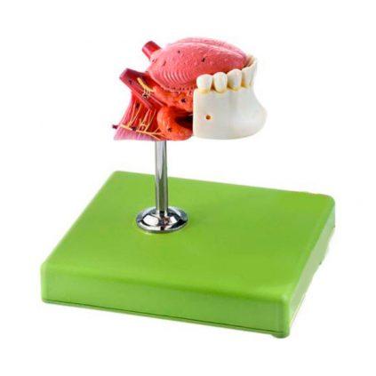 مولاژ زبان و دندان