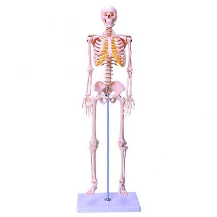 مولاژ اسکلت بدن انسان 1/2 اندازه طبیعی