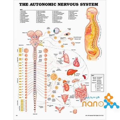پوستر سیستم عصبی خودکار