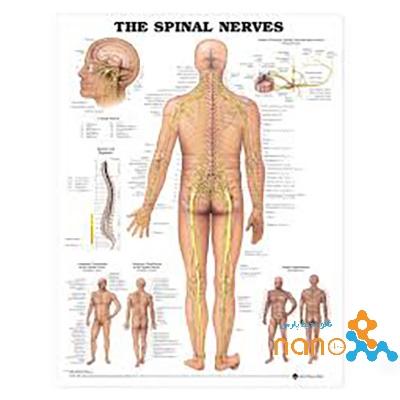 پوستر اعصاب نخاعی The spinal nerves