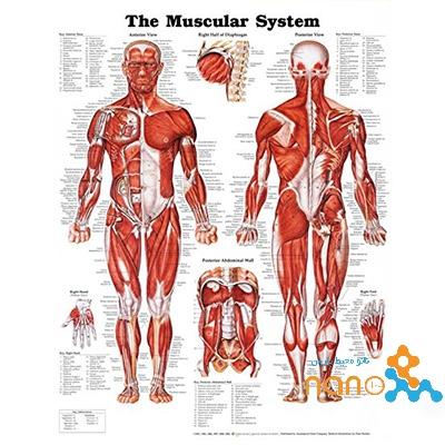 پوستر آناتومی عضلات