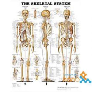 پوستر آناتومی اسکلت انسان