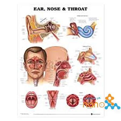 پوستر آناتومی گوش,حلق و بینی