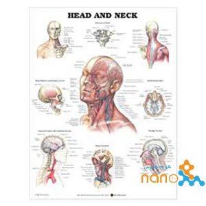 پوستر آناتومی سر و گردن