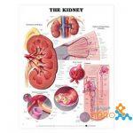 پوستر آناتومی کلیه The Kidney