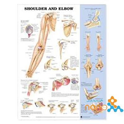 پوستر آناتومی شانه و آرنج