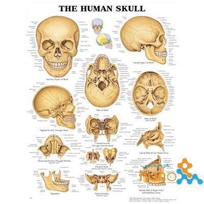 پوستر جمجمه انسان