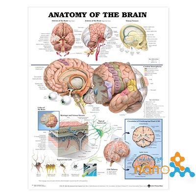 پوستر آناتومی مغز