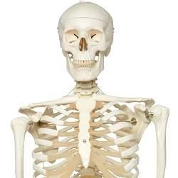 مولاژ استخوان بندی اسکلت انسان
