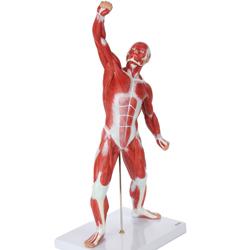 مولاژ عضلات