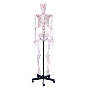 مولاژ اسکلت بدن انسان اندازه طبیعی