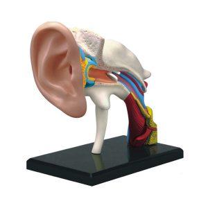 مولاژ گوش اندازه طبیعی(22 قسمتی)