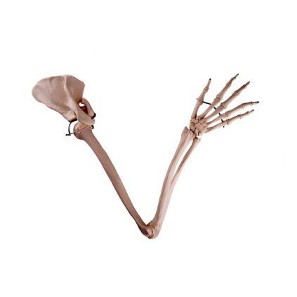 مولاژ استخوان بندی اسکلت دست انسان