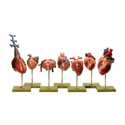 مولاژ قلب حیوانات 8 عددی
