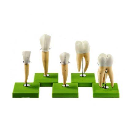 مولاژ دندان 5 عددی
