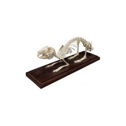 اسکلت خرگوش استخوان طبیعی