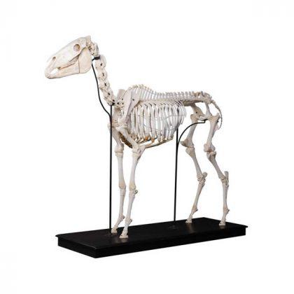 اسکلت اسب استخوان طبیعی