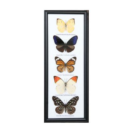 قاب کلکسیون پروانه 5 گونه ستونی