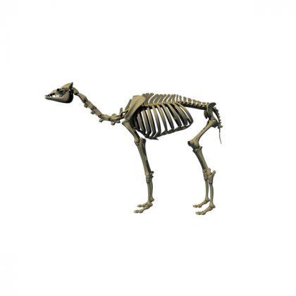 اسکلت شتر استخوان طبیعی